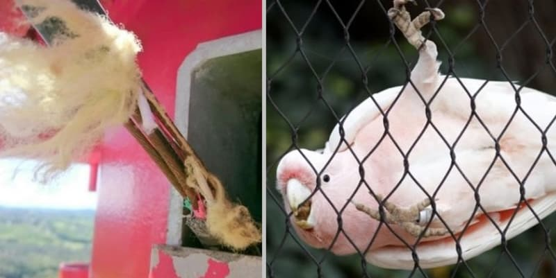 Burung Kakaktua Internet Lambat Di Australia
