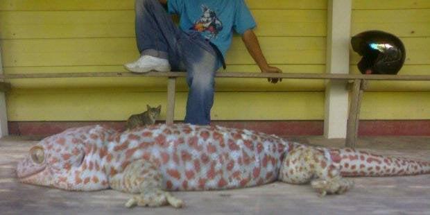 Tokek Terbesar Di Dunia 65 KG Dari Kalimantan