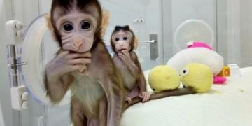Kloning Monyet Reuters
