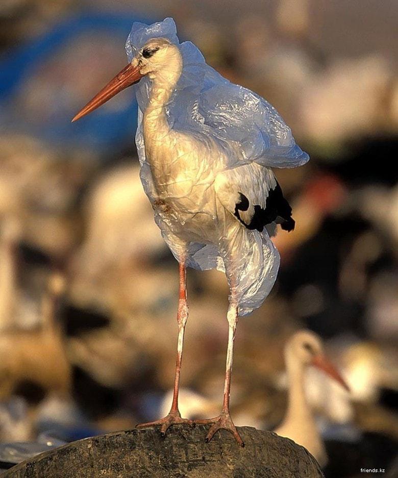 Burung Bangau Terjebak Dengan Plastik Min