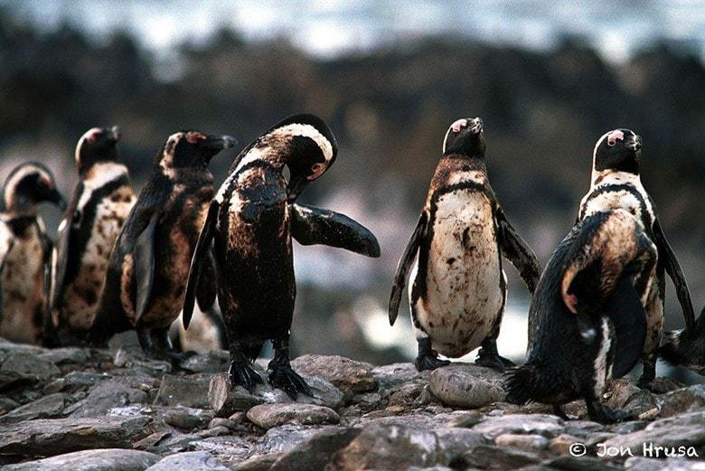 Kumpulan Pinguin Yang Dipenuhi Tumpahan Minyak Min