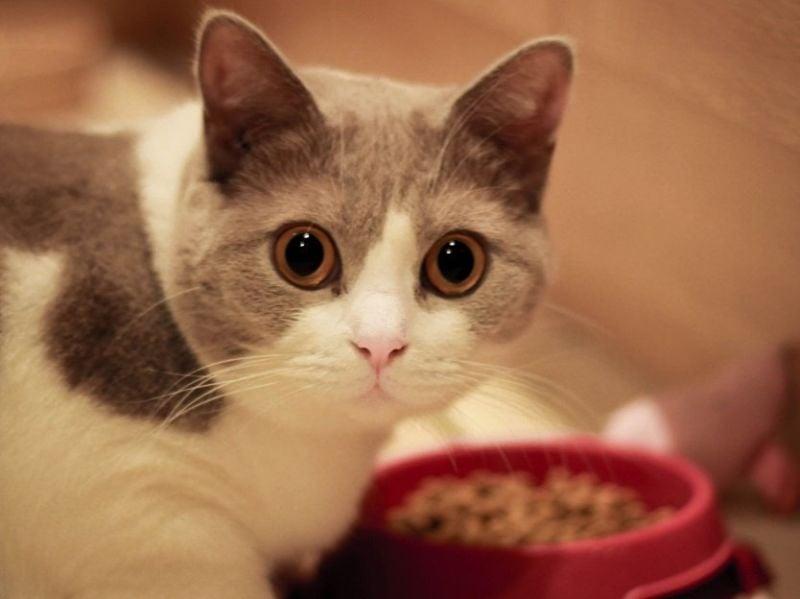 Ada Kucing Mendekati Kita Saat Sedang Makan, Apa Artinya Dafunda Gokil