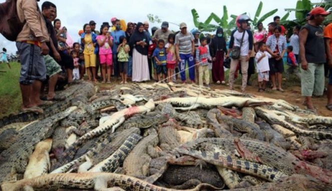 Ngeri Banget! Telan Korban, Ratusan Buaya Ini Dibantai Habis Oleh Warga Sorong