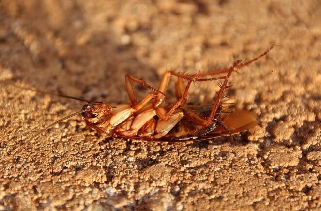 Sering Dianggap Remeh, Ternyata Membunuh Kecoa Sangat Berbahaya Bagi Kesehatan! Dafunda Gokil