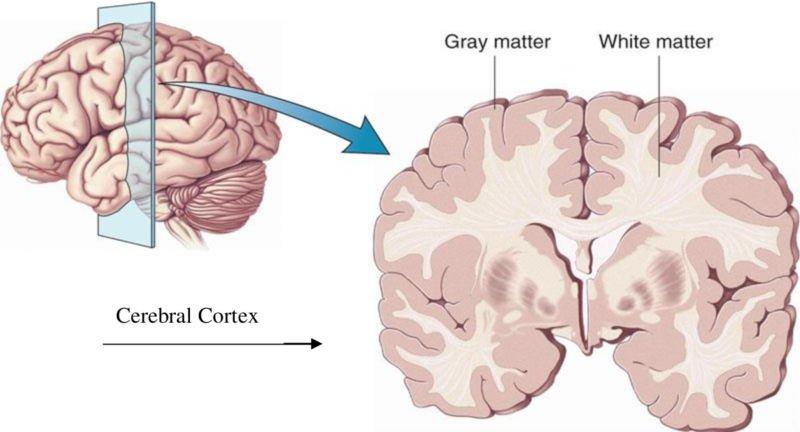 Grey Matter Di Bagian Otak